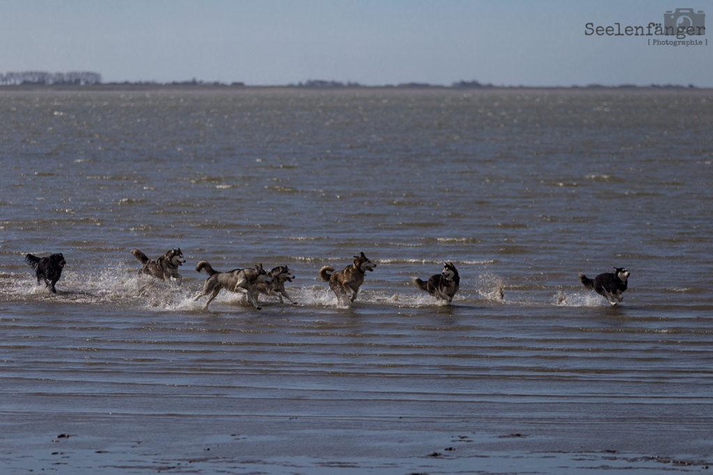 Nordseeausflug mit den Huskys